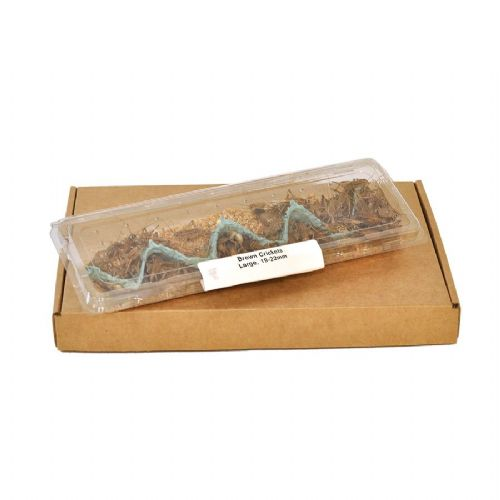 Large House Brown Crickets (19-22mm)